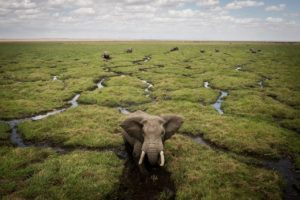 An elephant in the Amboseli National Park in Kenya wards off a Kenya Wildlife Service helicopter during an aerial elephant census in Kenya. © Will Swanson for Al Jazeera English