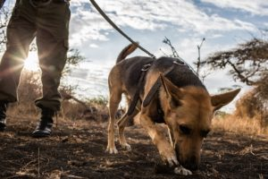 Big Life Ranger Joel Yimia runs his tracker dog Didi through a training excercise in the Chyulu Hills. Dogs have been invaluable in tracking and arresting poachers who often flee on foot. © Will Swanson for Al Jazeera English